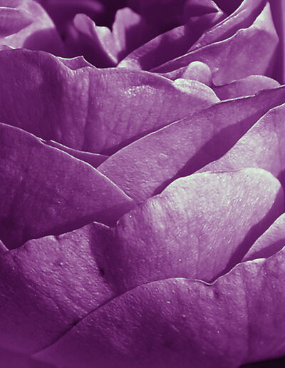 Winkler – Rose 2