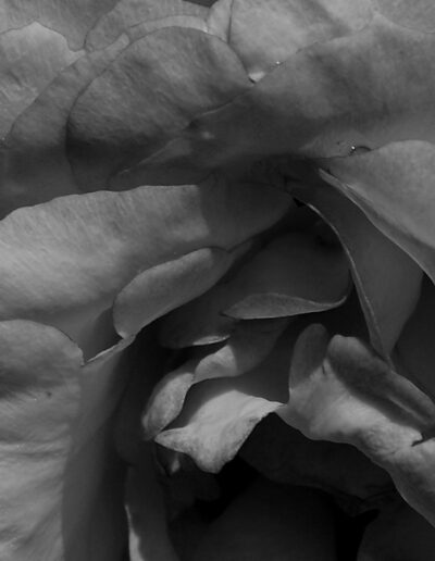 Faszination Rose 1