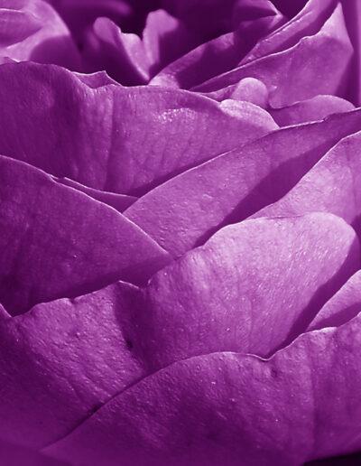 Faszination Rose 3