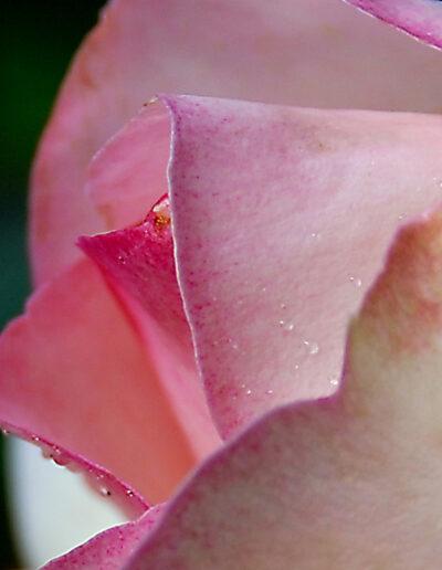 Faszination Rose 2